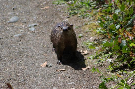 Walk the Wild Side Trail: An Otter on the trail