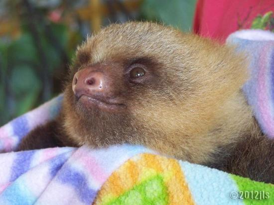 Toucan Rescue Ranch: another rescued baby sloth