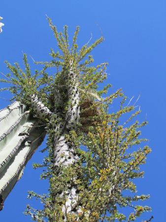 Desert Inn Catavina: Boojum Cactus