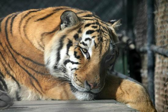 Catty Shack Ranch Wildlife Sanctuary: Tiger At Rest