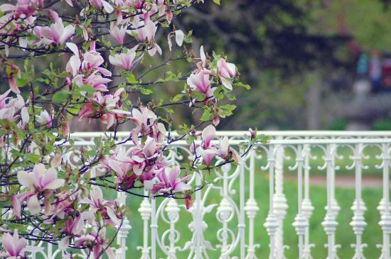 Lichtentaler Allee: le magnolie