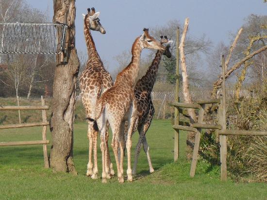 Planete Sauvage: girafes