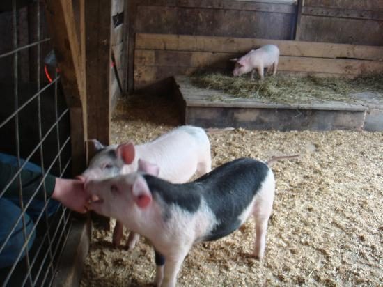 Rupert, VT: New piglets arrived at the farm.