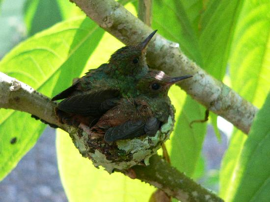 ‪‪Hotel Blue Conga‬: Have you seen babies hummingbirds ? at Blue Conga it's possible‬