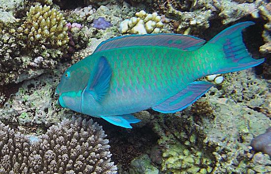 Calypso Pure Snorkel: Reef fish taken with cheap waterproof digital camera.