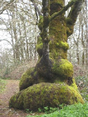 William L. Finley National Wildlife Refuge: gnarly tree