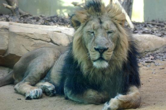 Zoologischer Garten Frankfurt/Main: il leone
