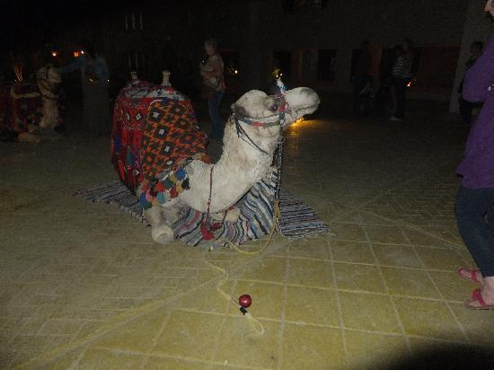 Coral Sea Waterworld Resort: one of the hotel camels