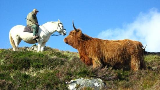 Newtonmore Riding Centre: Highland Pony and Highland Cow