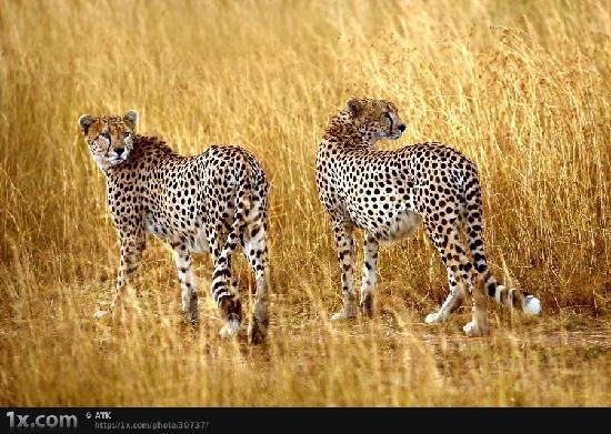Hermanus Day Tours: Cheetahs on the plains