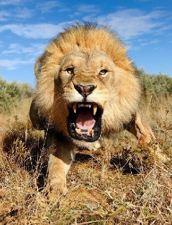 Hermanus Day Tours: The biggest angry cat