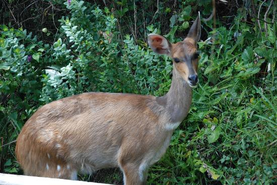 Storms River Mouth Restcamp: our friendly bushbuck