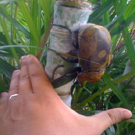 Hotel Vista del Cerro: elephant beetle at the restaurant while I was having breakfast