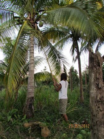 Yerba Buena Guest Cabins: Coconut tree in the farm