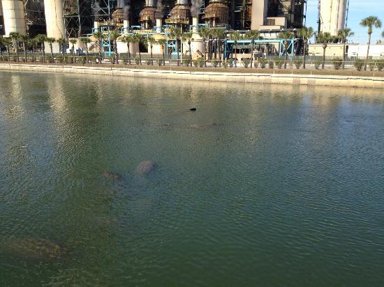 Manatee Viewing Area: If you look carefully you can see many manatee in the water