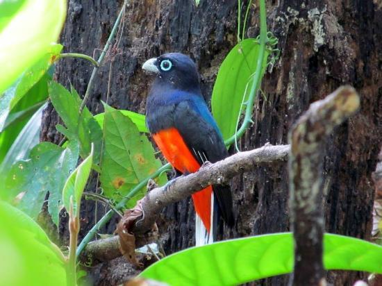 Danta Corcovado Lodge: Baird's Trogon seen on Guaymi tour near lodge