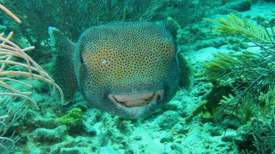 Porcupine Fish Off Buddy Dive Beach