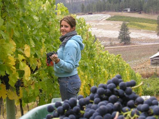 8th Generation Vineyard: grape picking (Merlot)