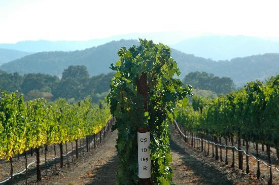 Goosecross Cellars: Cabernet Vines