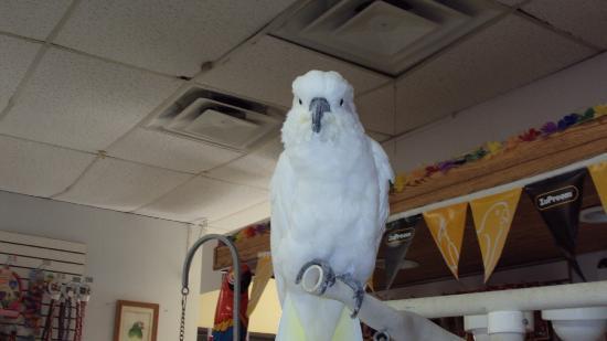 Black Hills Parrot Welfare & Education Center: Umbrella cockatoo