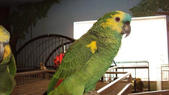 Black Hills Parrot Welfare & Education Center: blue fronted amazon