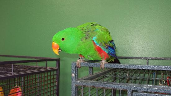 Black Hills Parrot Welfare & Education Center: Willie-Male Eclectus
