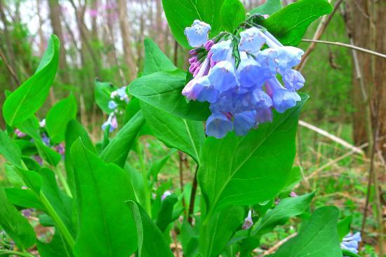Lincoln Memorial Garden : Virginia Bluebells