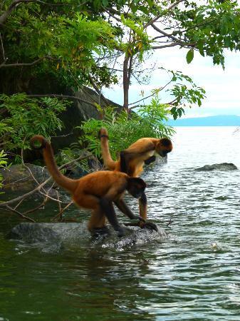 Hacienda Merida: Spider monkeys on nearby island