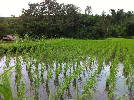 Royal Tulip Saranam Resort & Spa: Rice Terrace in the Valley
