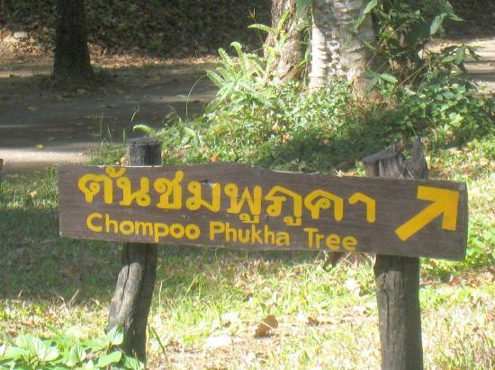 Doi Phu Kha National Park: Sign pointing towards one of the famous Chompoo Phukha trees