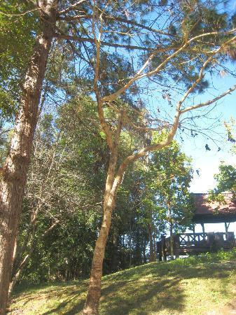 Doi Phu Kha National Park: The Chompoo Phukha tree, before it flowers