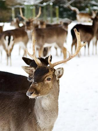 Best Western Whitworth Hall Hotel: Deer in the snow