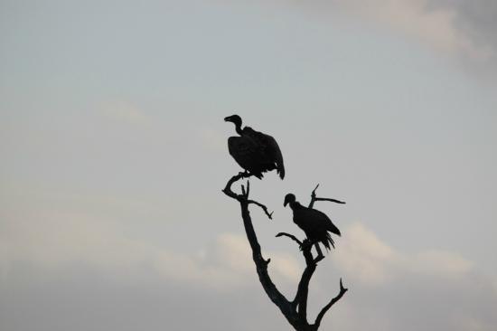 Call of Africa: buitres en Kruger Park