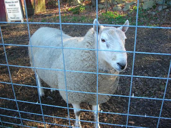 Natural Resources Trust of Easton: Sheep at the Sheep Pasture
