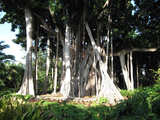 arbol - Picture of Botanical Gardens (Jardin Botanico), Puerto de la Cruz - T...