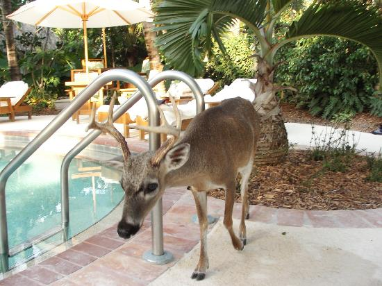 Little Palm Island Resort & Spa, A Noble House Resort: One of the key deer who come to say