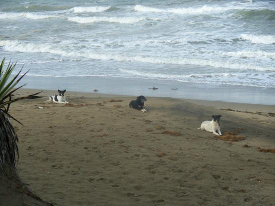 Cabarete East Beachfront Resort: Stray dogs from down the beach - waiting respectfully for their supper