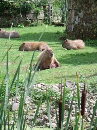 Kerkrade, Países Bajos: Zonnende capibara's