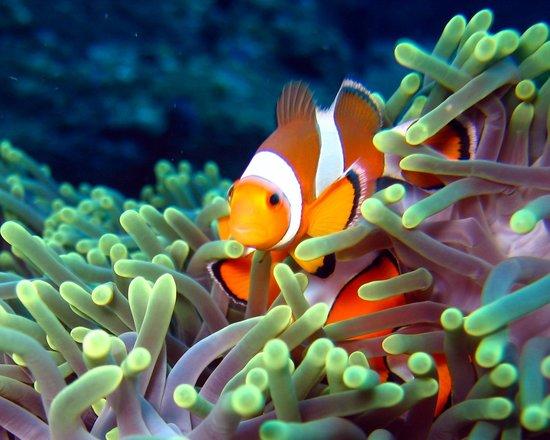 Phuket-scuba.com: We will find you Nemo