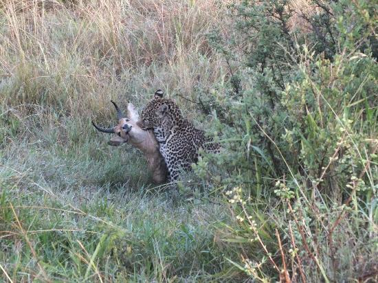 Mara Simba Lodge: elusive leopard with kill