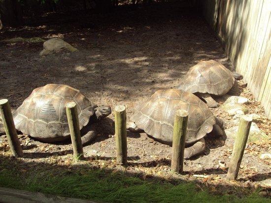 Santa Fe College Teaching Zoo: Galapagos Tortoises