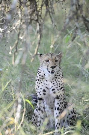 Kuname Lodge: Cheetah