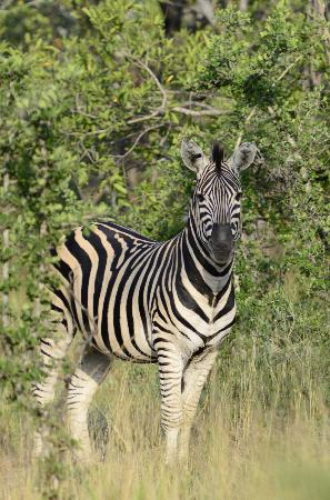 Kuname Lodge: Zebra
