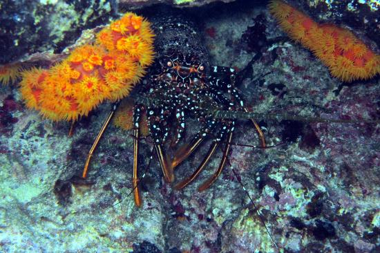 Black Durgon Inn: A spiny lobster