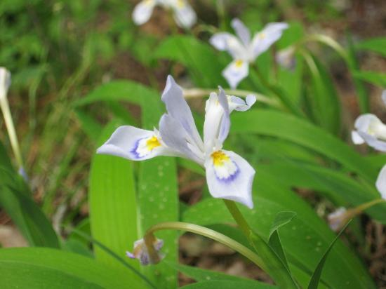 Lake Catherine State Park: Wild Iris