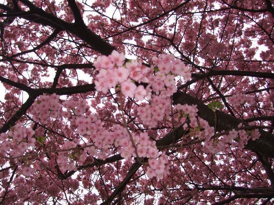 Kawazu-cho, Japón: 河津桜