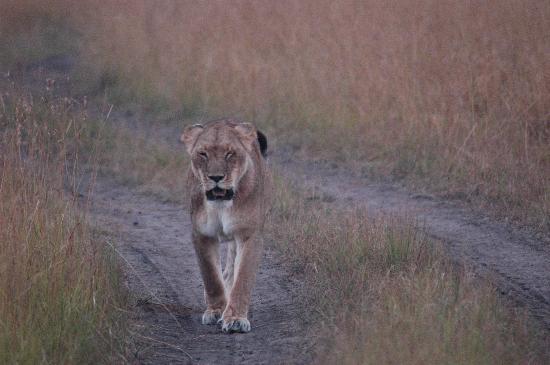 Mara Intrepids Luxury Tented Camp: Löwin auf der Pirsch
