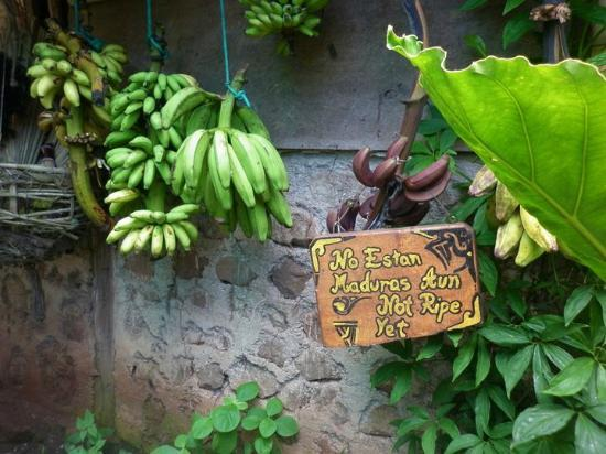 El Zopilote: Free delicious bananas of various kinds