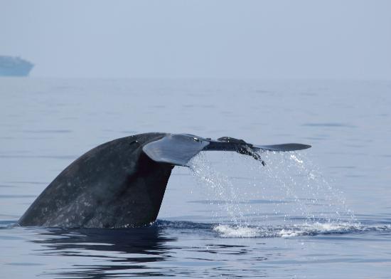 Whales Lanka: FLuking