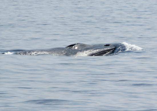 Whales Lanka: Blue Whale blowhole